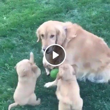 Pai cão brincando com seus filhos