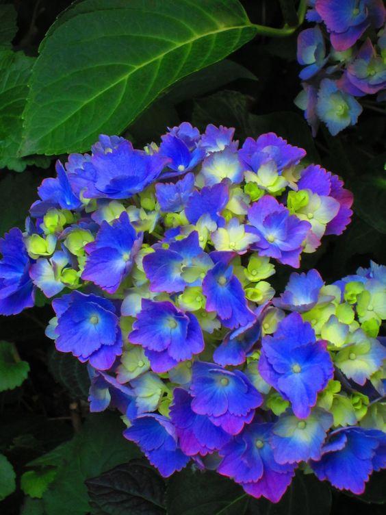 Intense blue Hydrangea