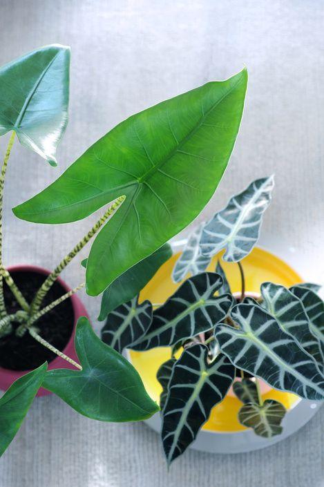 alocasia woonplant van september