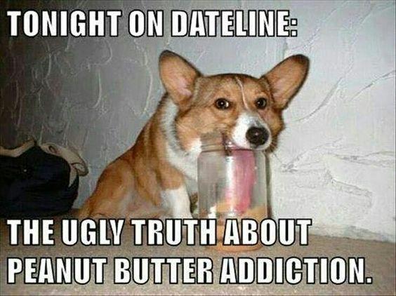 Peanut butter addiction... the struggle is real.. #peanutbutter #truth #corgi