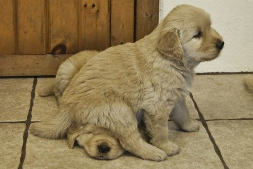 oopsies: Cute Puppies, Excuse Me, Golden Retrievers, Puppy Love, So Cute, Sibling, Golden Puppy, Golden Retriever Puppies, Adorable Animal