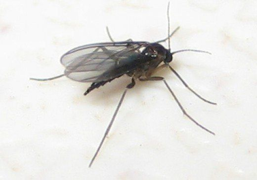 Fungus Gnats Where Do These Little Flying Bugs Come From Plant