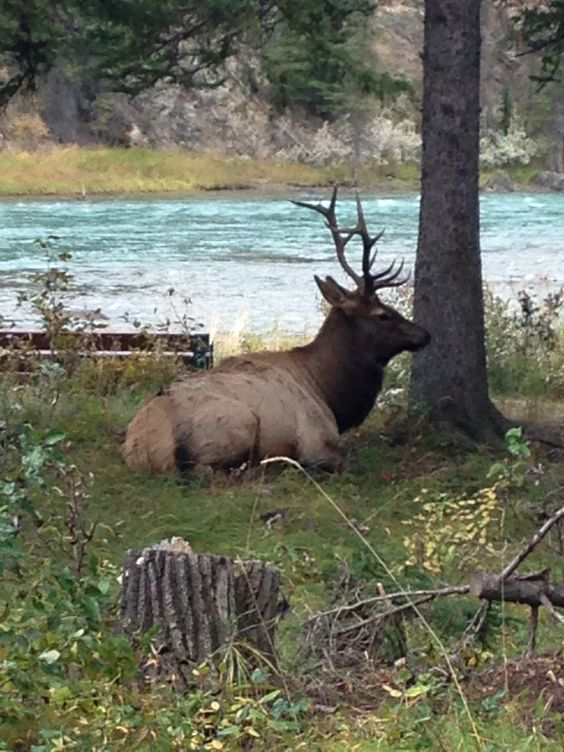 A moose right beside the walking path, Banff: