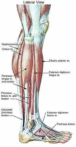 anatomy charts and lower leg muscles on pinterest : leg anatomy diagram - findchart.co