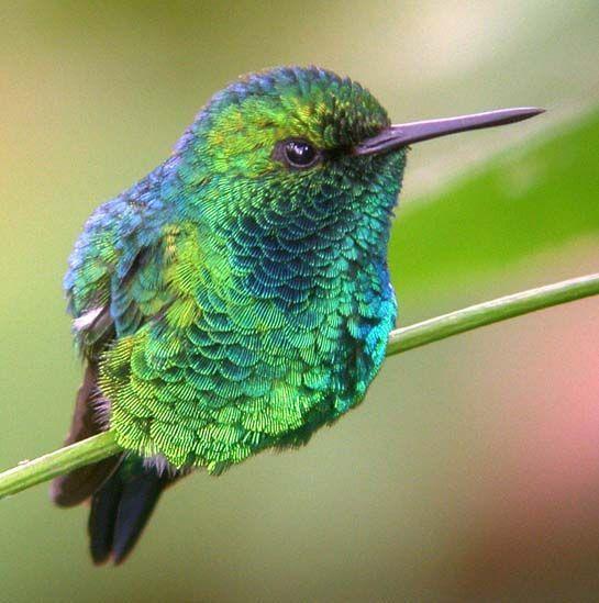 コロンビアヒメエメラルドハチドリ Chiribiquete Emerald Chlorostilbon Olivaresi ハチドリ ヒメ コロンビア