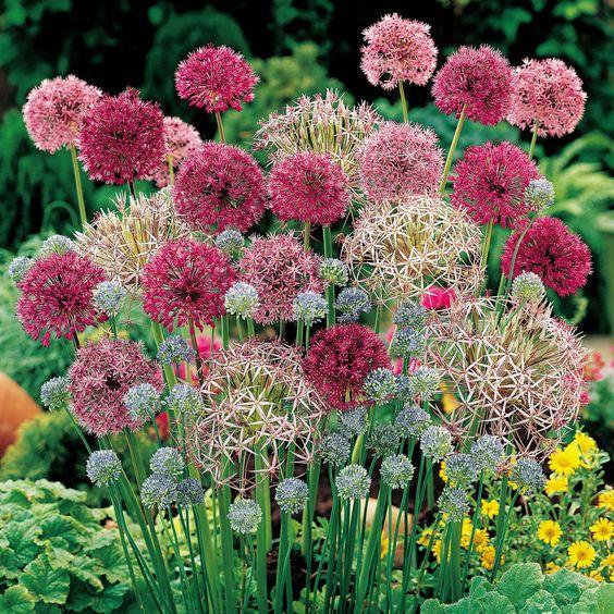 Mixed varieties of alliums. http://www.vanmeuwen.com/flowers/flower-bulbs/alliums/allium-cottage-garden-collection/25698VM