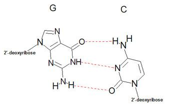 Structure of an G-C base-pair