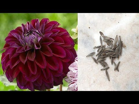How To Collect Dahlia Seeds Save Harvest Dahlia Seeds Youtube In 2020 Planting Mums Buy Seeds Buy Seeds Online