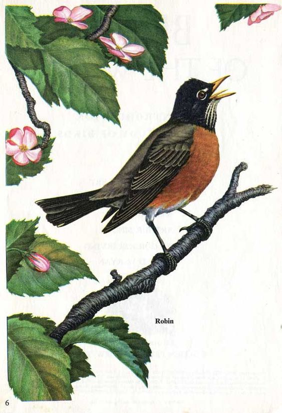 Vintage Male Robin Bird Illustration Print by ...