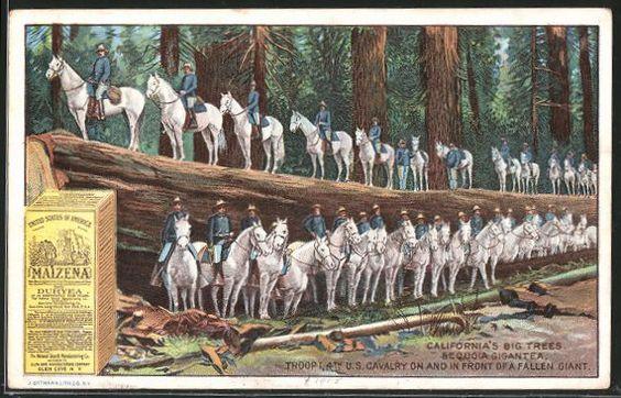 Sammelbild Maizena, California Big Trees Sequoia Gigantea, 1. Trupp der 4. US-Kavallerie