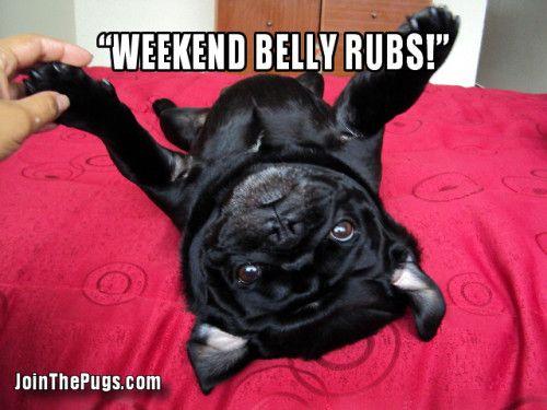Belly Rubs! #pugs #puginvasion