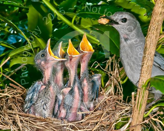 Mother Catbird Feeding Young Wildlife Photo by MikePylePhotography
