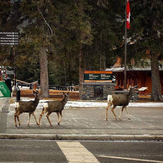 """banffphotography: """"Take the kids to Banff for a weekend of fun! All the deer are doing it.... #banff #deer #family #mybanff #yycliving #clagary"""""""