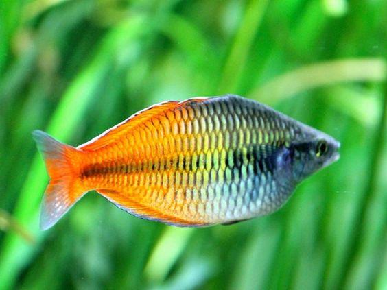 Freshwater Fish Rainbows And Fish On Pinterest