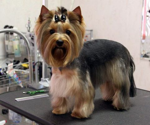 Image Result For Female Yorkie Haircuts Tunsori