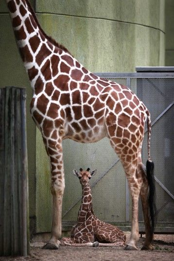 A baby giraffe sits under its mother at Brookfield Zoo in Illinois