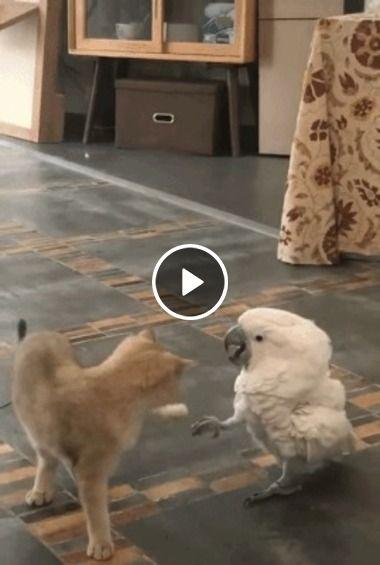 pássaro dando piza no gato