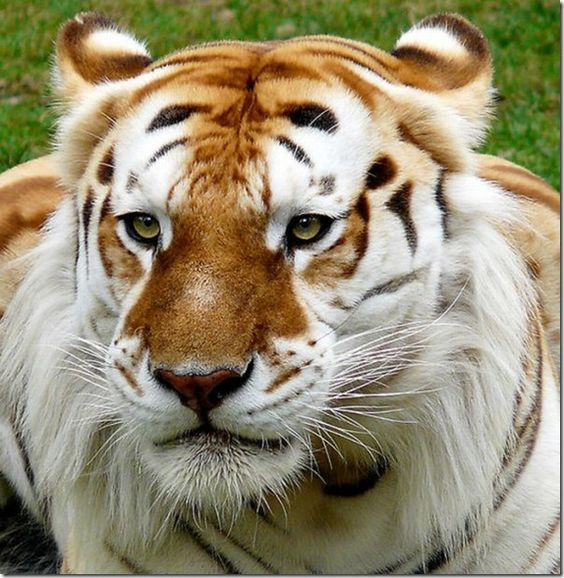 Unusual golden tiger.  These tigers are very rare.