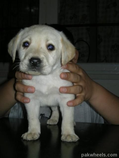 Puppies For Sale In Pakistan 02244 Puppy Breeds Cute Puppies