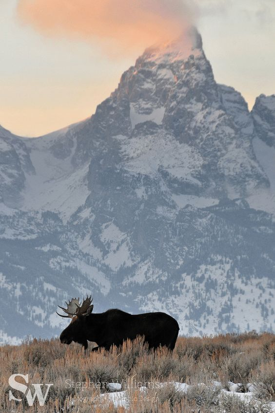 Bull moose strolling in front of the Grand Teton