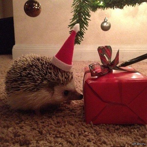 Ёжики тоже любят получать подарки