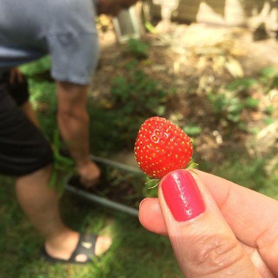Ah! Thanks @aaronsikorski for picking game a #strawberry #eatfresh #garden