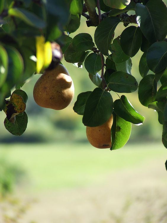 Pears hanging out on a lovley tree
