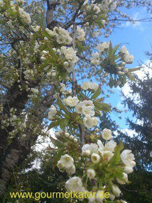 Kirschblüte in meinem Garten