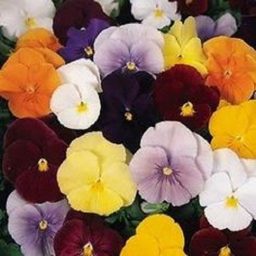 Clear Crystals Mix Viola Pansy Flower Seeds Biennial 35 By Youmakemesmileseeds On Etsy Pansies Flowers Flower Seeds Pansies