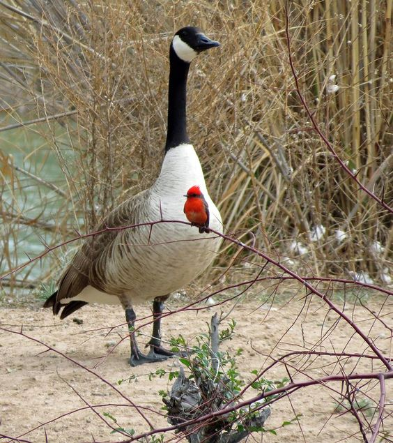 Canada Goose toronto outlet cheap - Vermillion Flycatcher in front of a Canada goose at the North ...