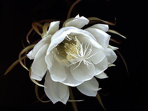 valscrapbook:    thewinterblues:(via white daisy flower tea | Flowers Tea)