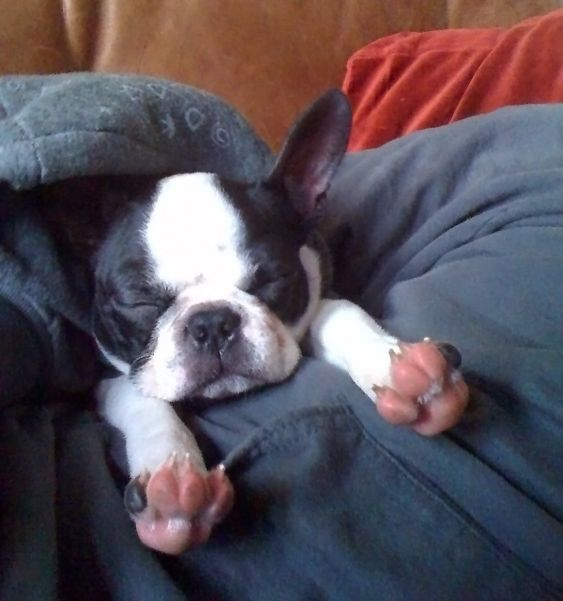 That decides it. I want a Boston Terrier.