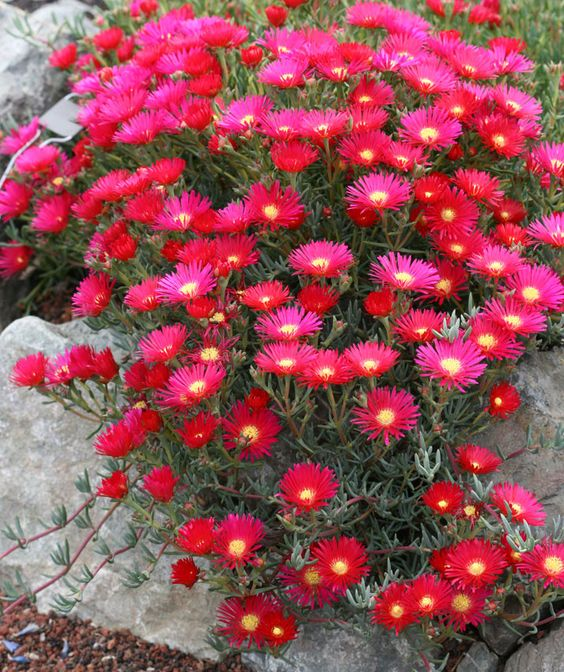 lampranthus hot flash 1 39 high x 3 39 wide drought