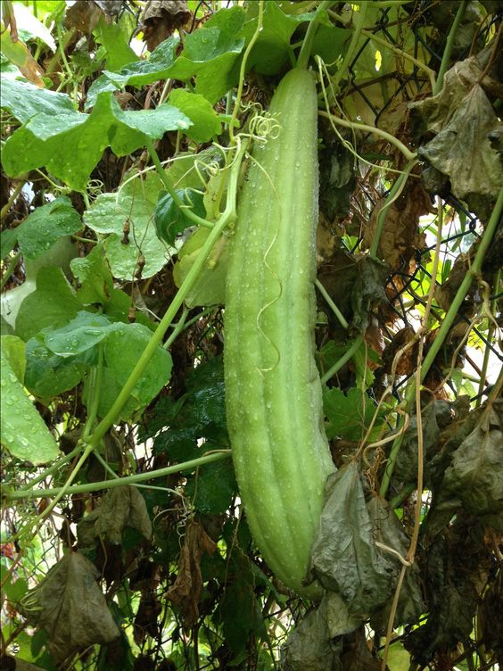 Luffa gourd growing at Tropica Mango Rare and Exotic Tropical Fruit Tree Nursery