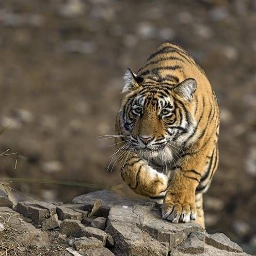 Pin Auf Tigres