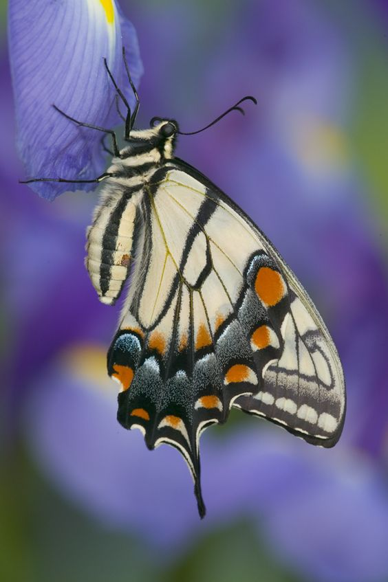 Resting Tiger Swallowtail Butterfly on Dutch Iris, photograph by:  Darrell Gulin