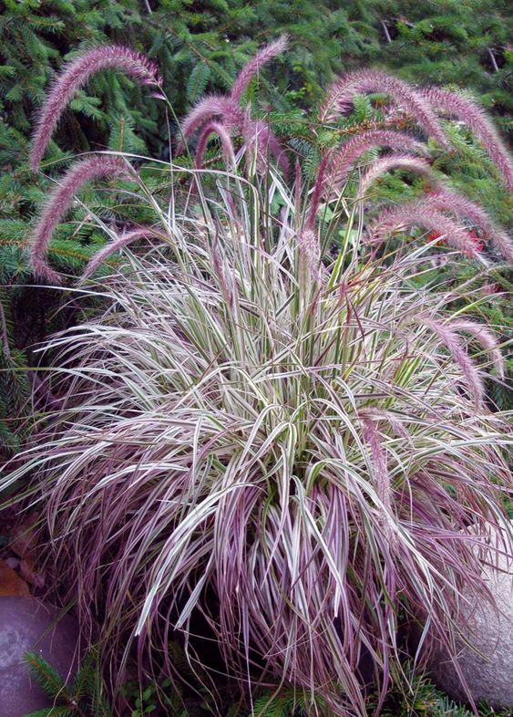Pennisetum 39 cherry sparkler 39 white and pink variegated for Hardy fountain grass