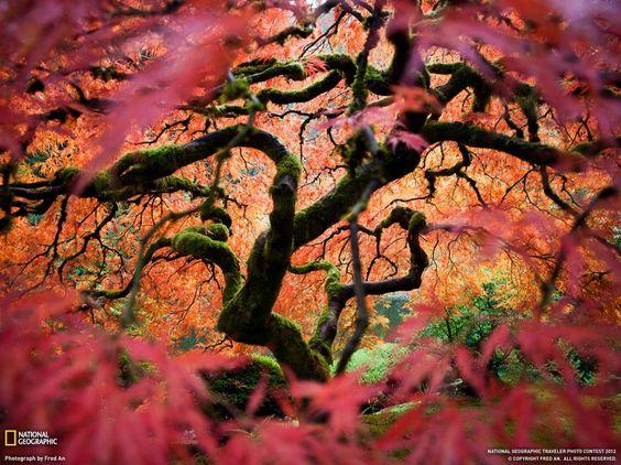 Japanese maple, Oregon, USA. (Fred An
