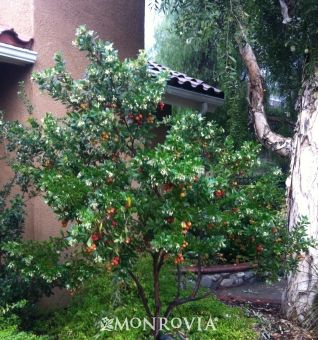 Arbutus Unedo Compacta Compact Strawberry Tree Small