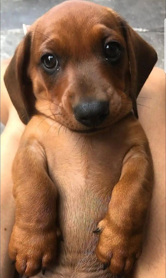 Dachshund Products Apparel And Gifts Cute Baby Animals Puppies