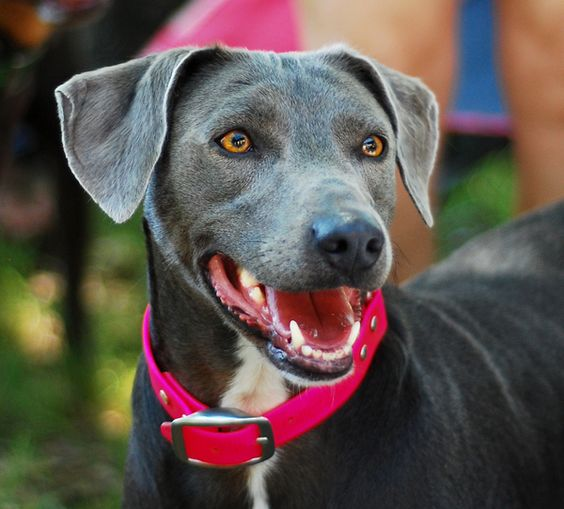 Blue Lacy Dog Tell Me That Doesn T Look Like Remington