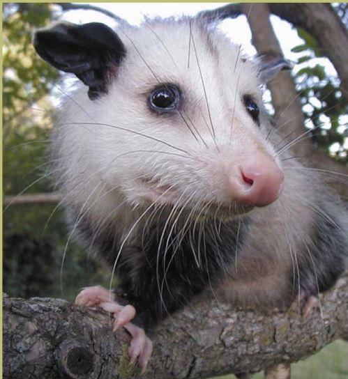 Playing Possum, The World's Oldest Bluff ... #pets #animals ... PetsLady.com | via @roncallari