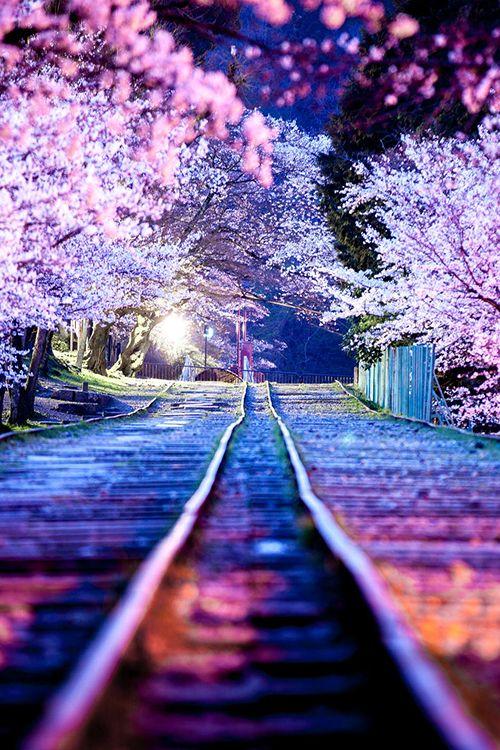 Cherry Blossoms Line, Keage Incline (Lake Biwa Canal) at night, Kyoto, Japan                                                                                                                                                      More