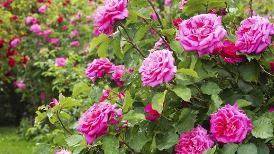 How to make the most of your roses