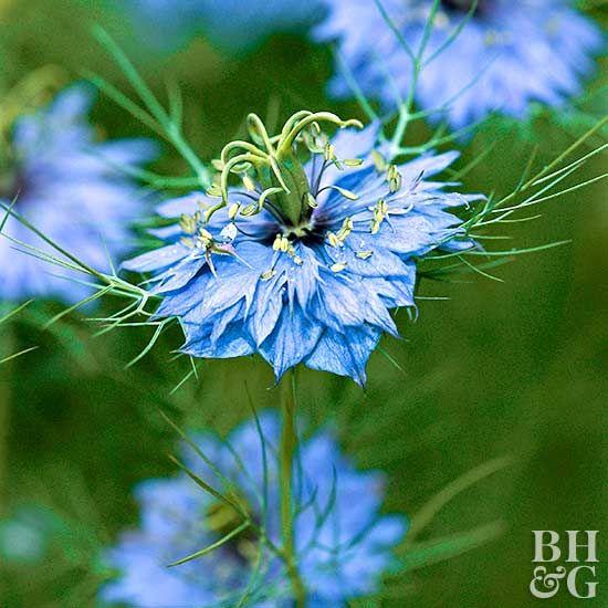 Nigella Will Add Unusual Blue Blooms And Soft Texture To Your Garden Nigella Plants Flower Seeds