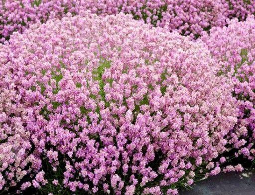 Lawenda Rozowa Z Plantacji Producent Sadzonki 3993785934 Oficjalne Archiwum Allegro Garden Plants Green Life