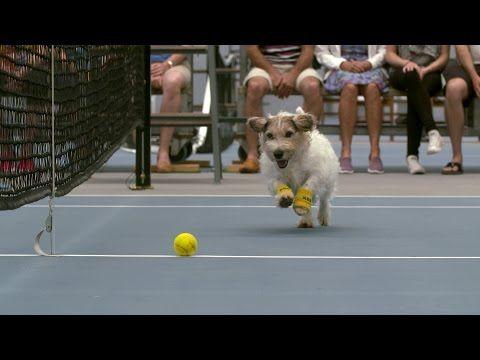 Cães são colocados como catadores de bolinhas durante partida de tênis e o resultado é adorável • Irado Rox