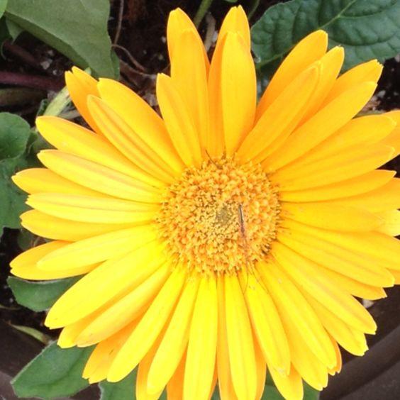 My Yellow Gerber Daisy
