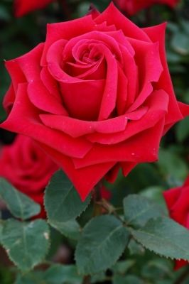 Kardinal - medium red, 30-35 petals, 1986, rated 8.4 (excellent) by ARS.