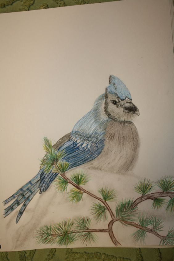 Blue Jay in colored pencil by Denise Crawford